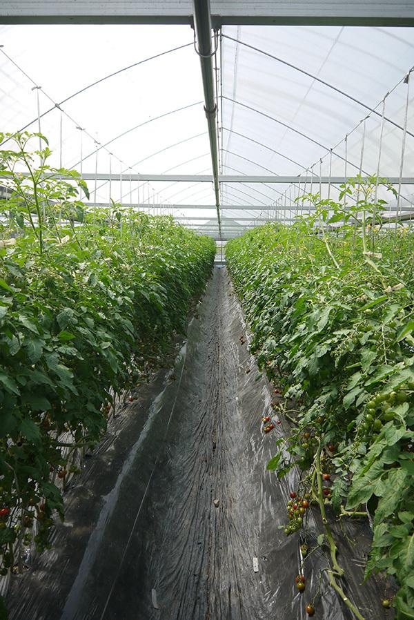 tomato01.jpg